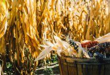 organic food vegetables corn