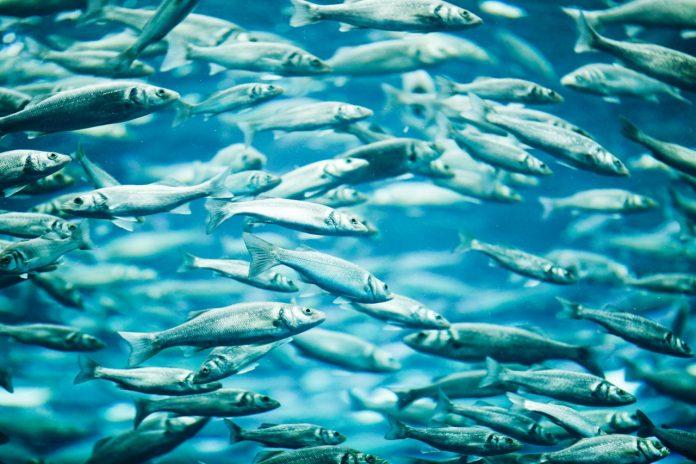 Wild or farmed fish swimming