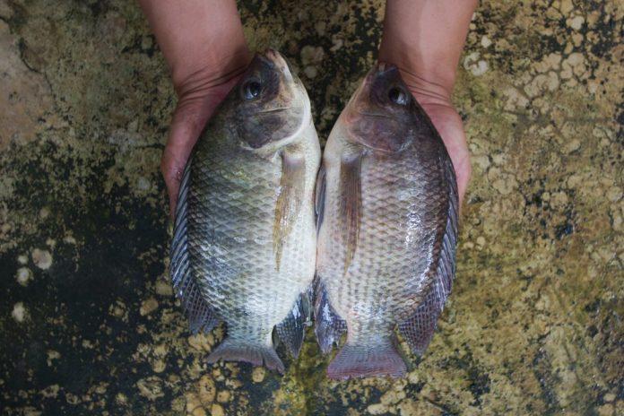 Two Tilapia