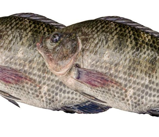 Two Tilapia