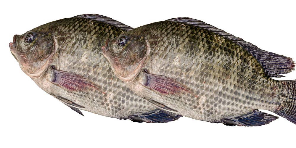 All fish aren 39 t equal good versus bad tilapia the for Is tilapia fish good for you