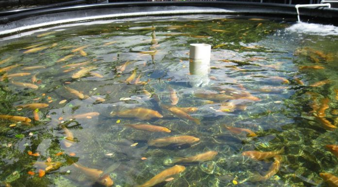 Healthy fish at a fish farm