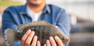 Aquaculture farmer holding tilapia fish in hand