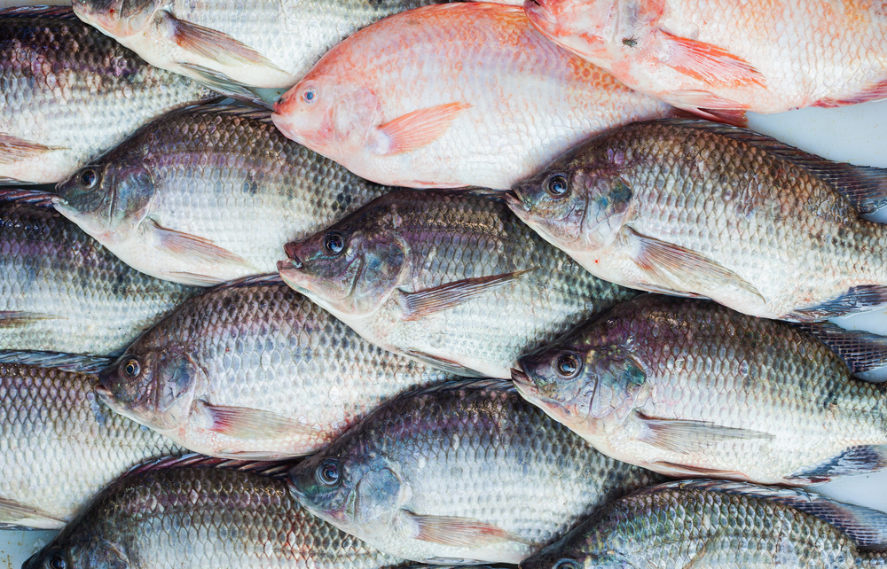 Black and red Tilapia fish